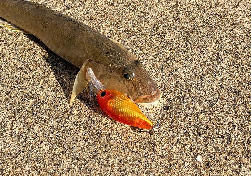 ハゼクランクで釣れたハゼの画像