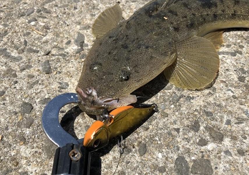 リトルマックスで釣れたマゴチの画像