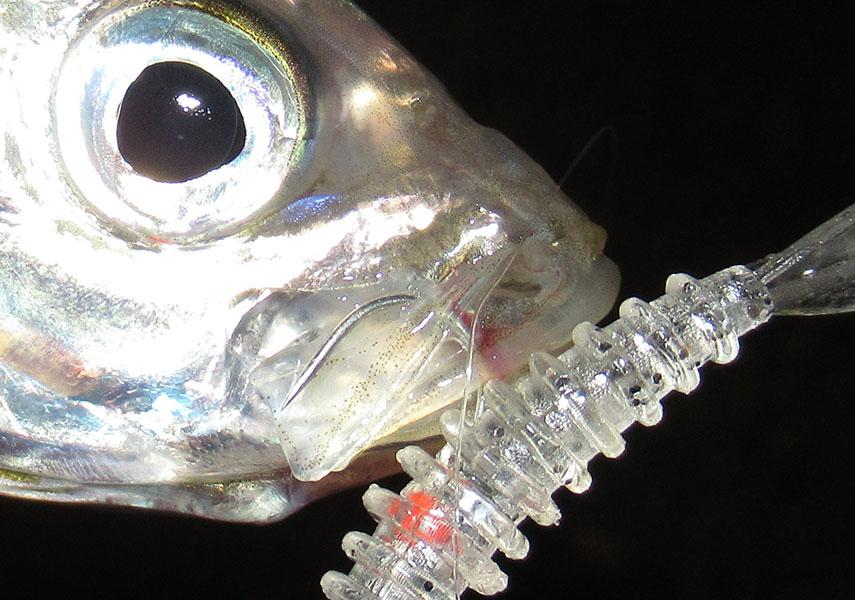 アジングジグヘッドで釣れたアジの画像