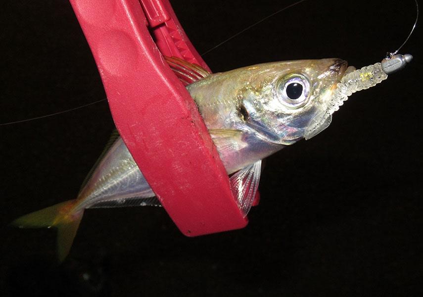 アジングワームで釣れたアジの画像