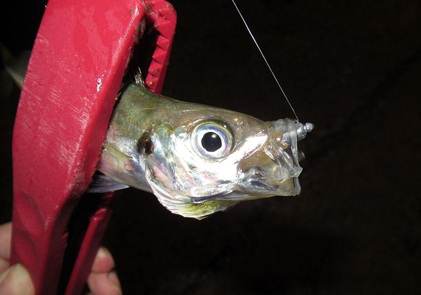 ジグヘッドで釣れたアジの画像
